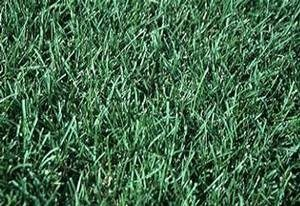 50LB ALENE KENTUCKY BLUEGRASS-1163