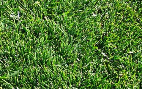 50LB CHEWING VNS FESCUE-1174