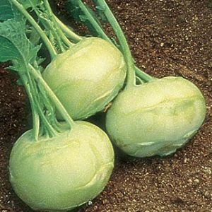 Early White Vienna Kohl Rabi-1698