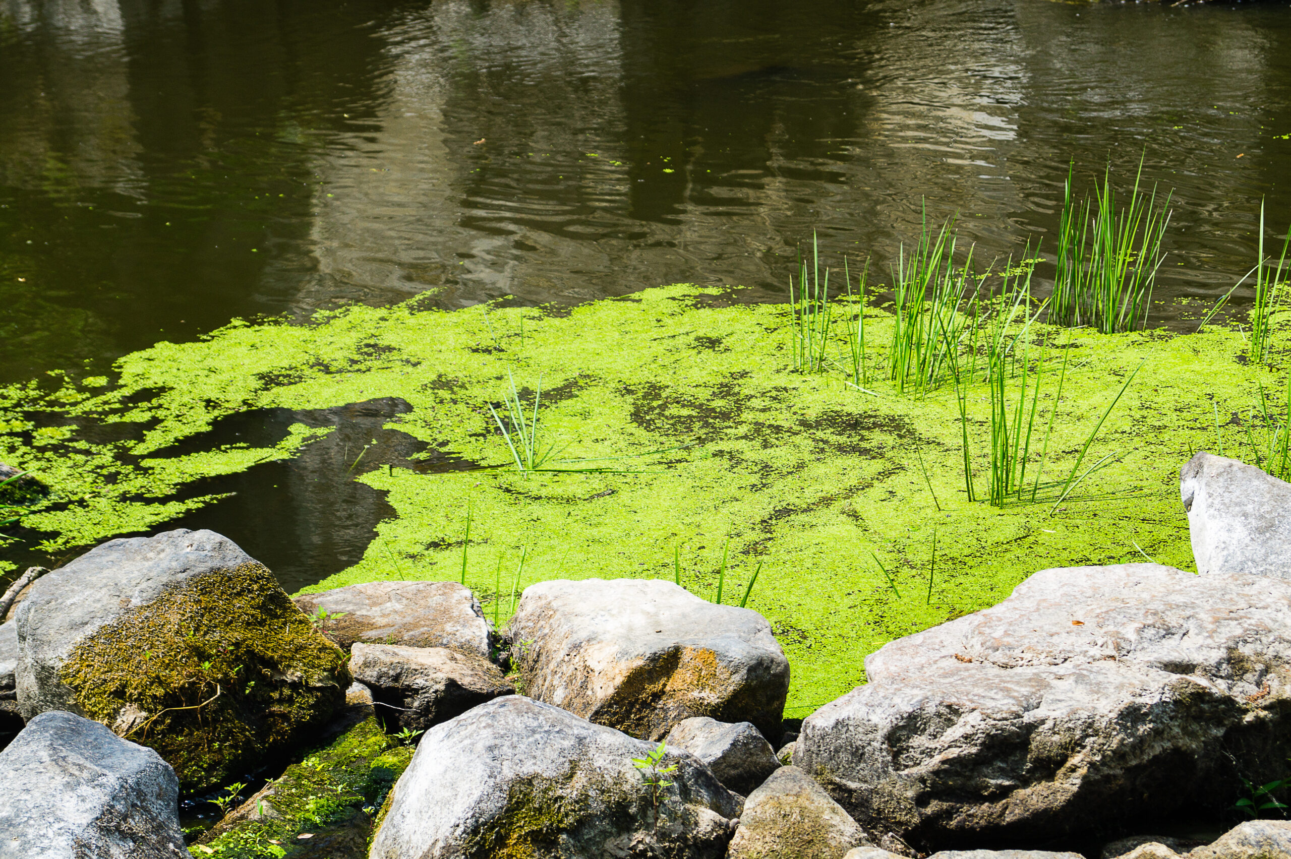copper sulfate for a pond with algae